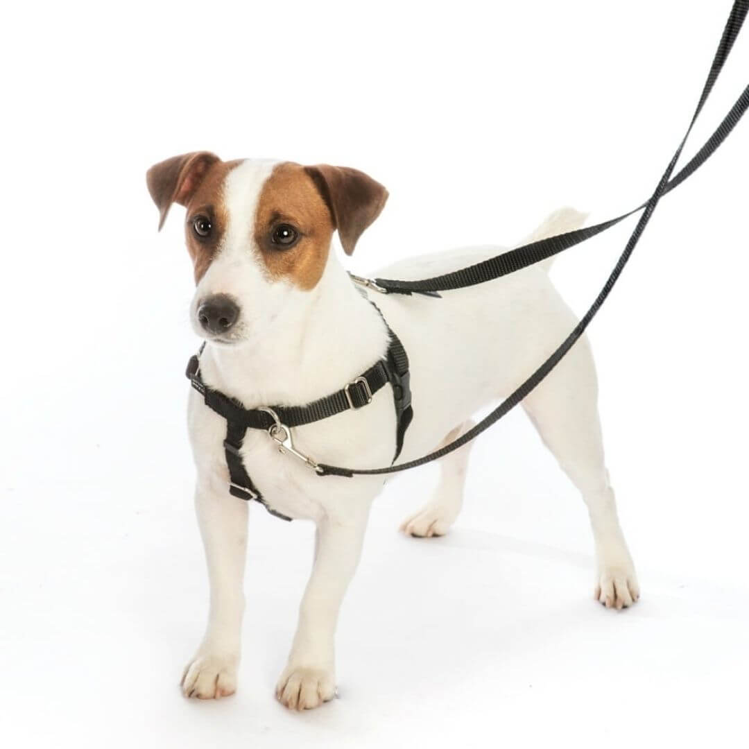 white-dog-wearing-a-black-freedom-no-pull-harness-with-training-leash | Pupford