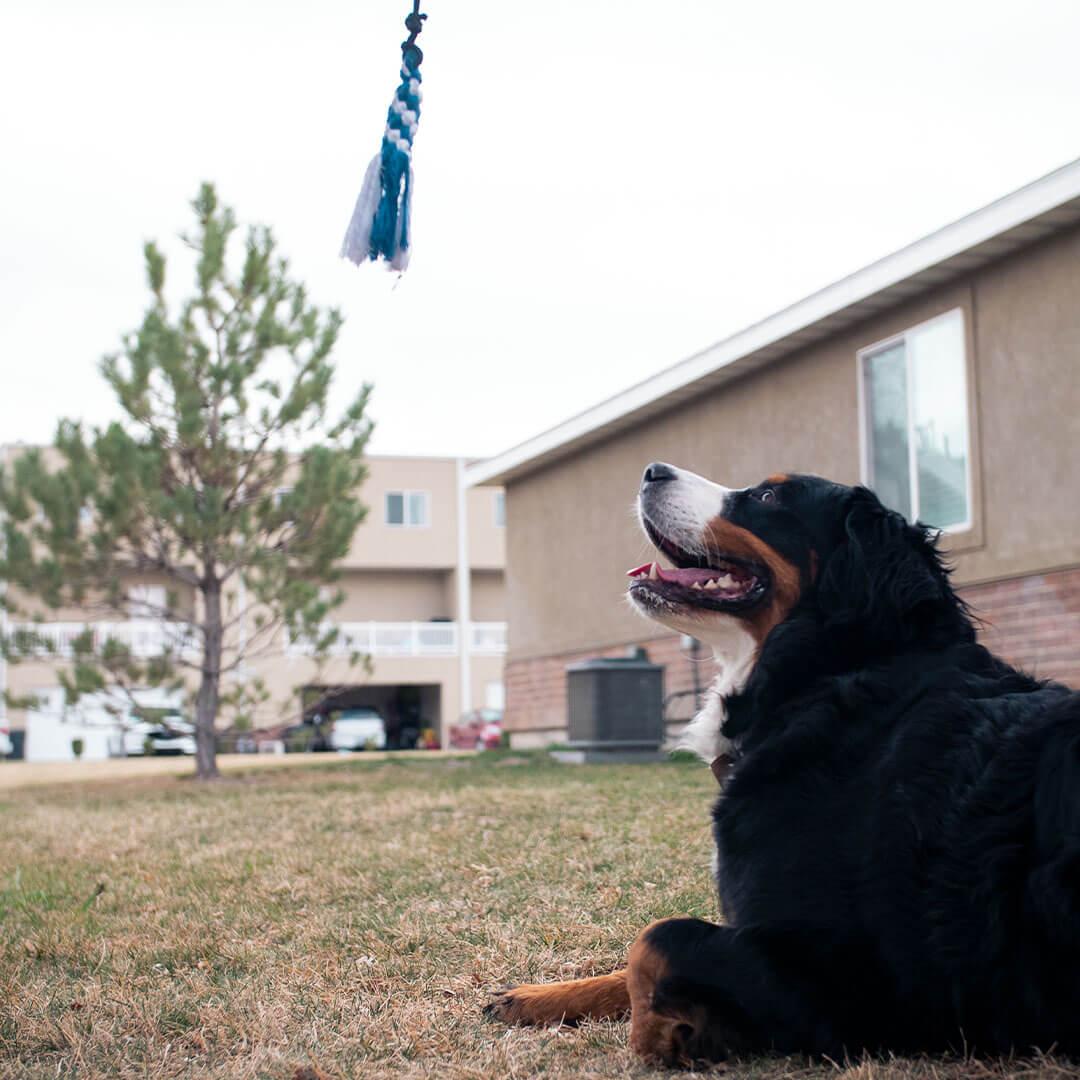 dog looking at flirt pole toy   Pupford