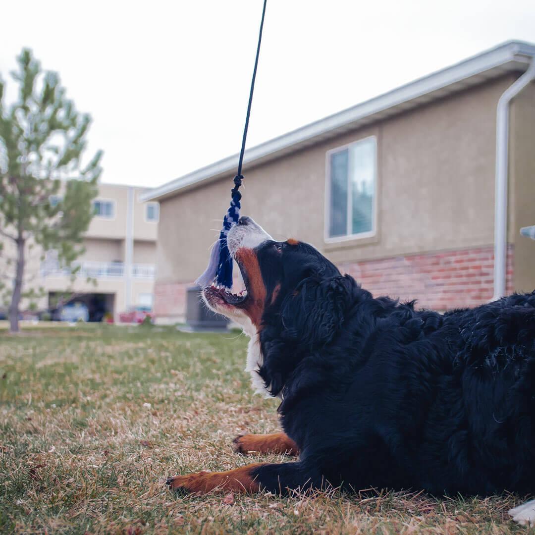 dog catching a flirt pole toy   Pupford