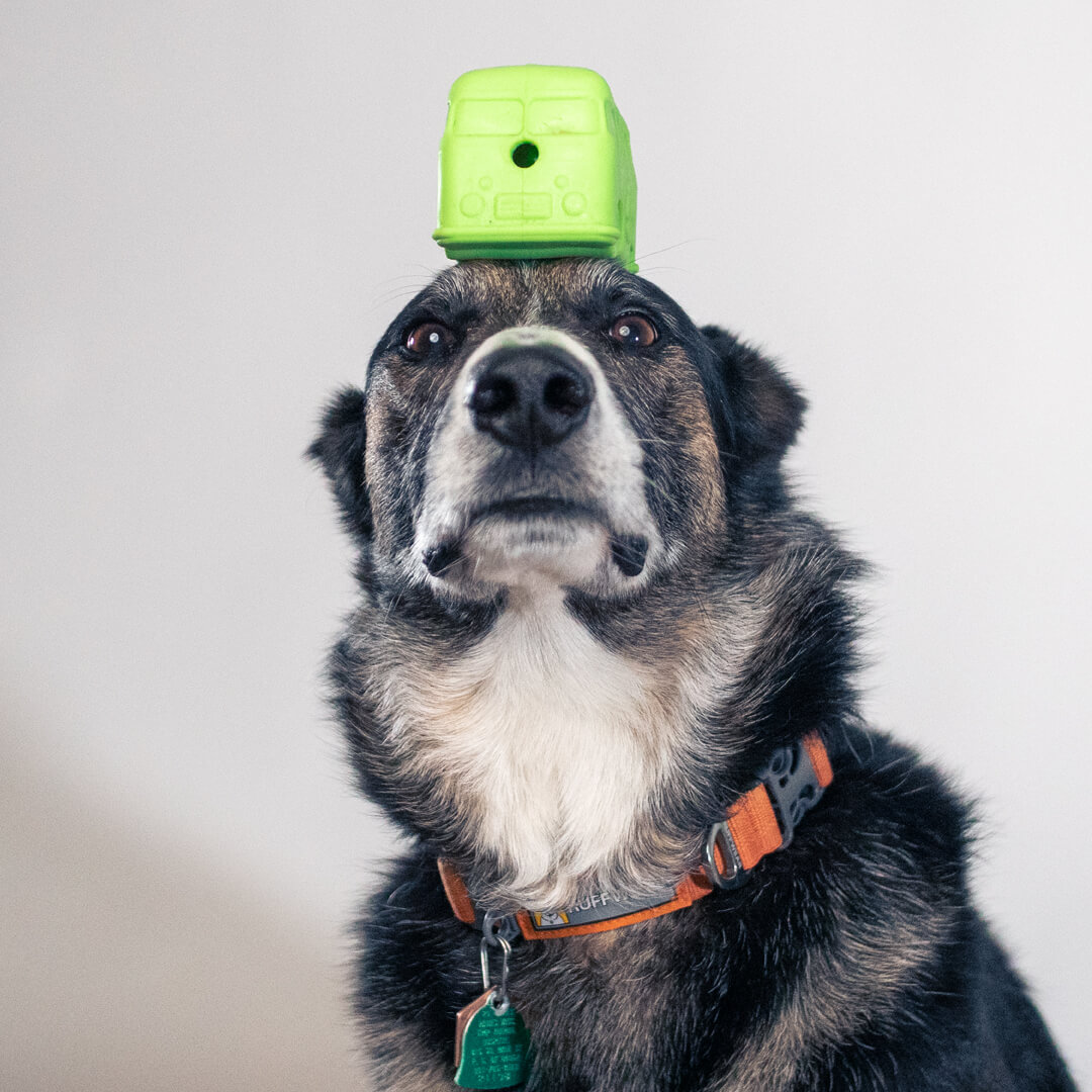 dog with chew toy on head | Pupford