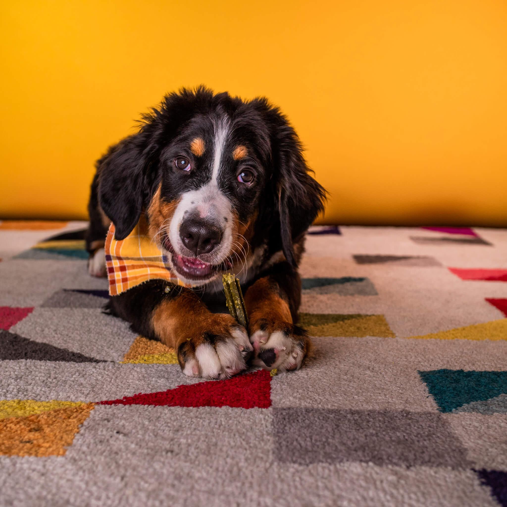 dog chewing on a dental chew stick | Pupford